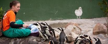 Projects Abroad volunteer helps care for the penguins while working with animals in South Africa